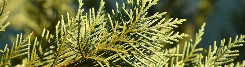 Leyland Cypress Pruning Tips