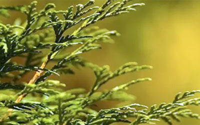 Topping a Cedar Tree