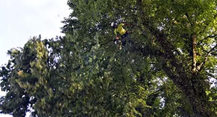 Pruning a cedar tree